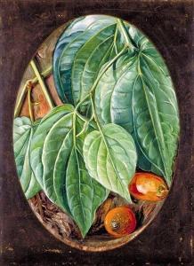 槟榔叶,槟榔果_Foliage of Betel Pepper and Areca Nuts-玛丽安娜·诺斯