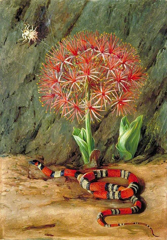 帝王花,珊瑚蛇和蜘蛛,巴西_Flor Imperiale, Coral Snake and Spider, Brazil-玛丽安娜·诺斯