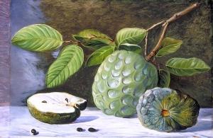 番荔枝的叶子和果实_Foliage and Fruit of the Cherimoyer-玛丽安娜·诺斯