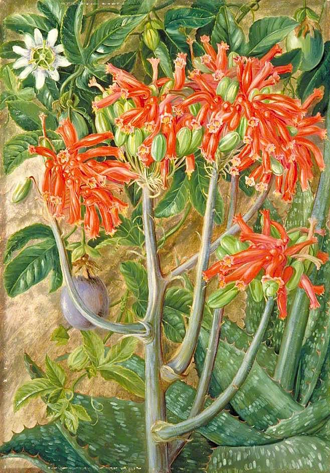 芦荟和西番莲,产自南非_Aloe and Passionflower, South Africa-玛丽安娜·诺斯