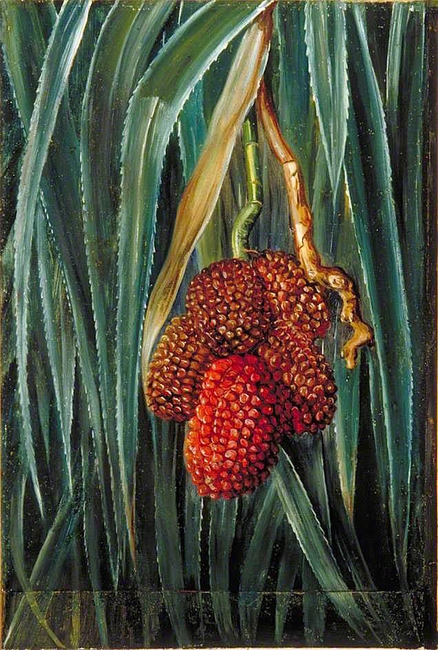 叶和果实小螺旋松,爪哇_Foliage and Fruit of a Small Screw Pine, Java-玛丽安娜·诺斯