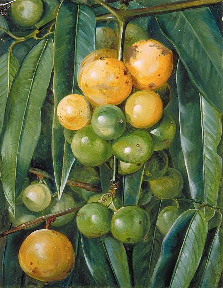 印度葫芦属植物的叶子和果实_Foliage and Fruit of the Gourka or Goraka, of India-玛丽安娜·诺斯